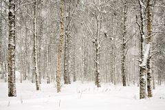 Snowy wintry forest Stock Photos