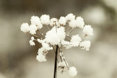 Snowy, withered plant Royalty Free Stock Photo