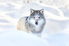 Snowy wolf stands in beautiful winter forest Stock Photos