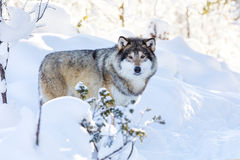 Snowy wolf stands in beautiful winter forest Stock Photo