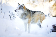 Snowy wolf stands in beautiful winter forest Royalty Free Stock Photography