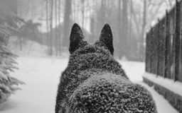 Snowy Wolf royalty free stock image