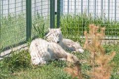 Snowy wolfs Стоковое фото RF