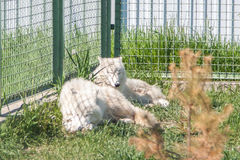 Snowy wolfs. White wolfs with yellow eyes looking from wire netting sunny day outdoor Royalty Free Stock Photo