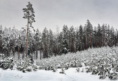 Snowy woods. A snowy day in woods of Latvia stock photography