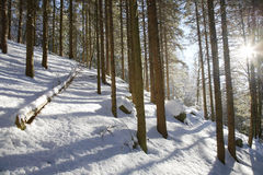 Snowy woods Royalty Free Stock Images