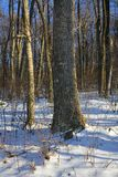Snowy woods. Hardwood forest just after a winter snow royalty free stock image