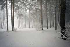 Snowy woods, hiding in the fog Stock Images