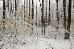 Snowy Woods Stock Image
