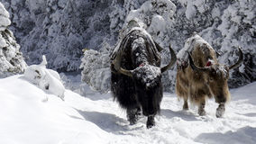 Snowy Yaks. Two large Yaks emerge from a snowy forest by Tengboche monastary in Sagarmatha National park, Nepal Stock Photos
