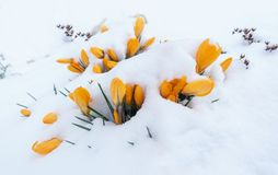 Snowy yellow crocuses royalty free stock images