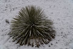 Snowy Yucca in New Mexico. A snowy Yucca in New Mexico after a brief snow storm royalty free stock images