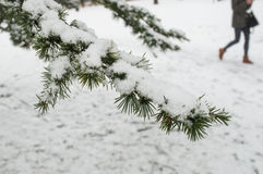 Snowy-Zedernniederlassung im städtischen Park Stockbilder