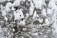 Snowy zelkova tree Royalty Free Stock Image