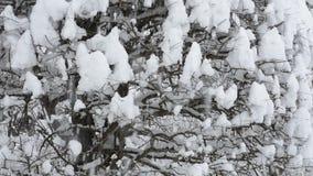 Snowy zelkova tree. Snow piled up in zelkova tree twig stock video
