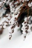 Snowy-Zweige lizenzfreies stockbild
