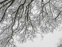 SnowyTree Branches royalty free stock photography