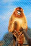 Snub Monkey de oro 2016 Fotos de archivo libres de regalías