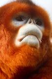 Snub-nosed monkey. A portrait of snub-nosed monkey Stock Images