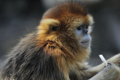 Snub-nosed Monkey. A snub-nosed monkey of Beijing Zoo eating food Royalty Free Stock Photo