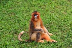 Snub-nosed Monkey(Golden Monkey). A portrait of snub-nosed monkey Stock Images