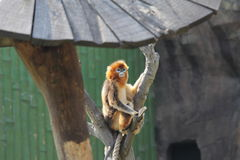 Snub-nosed Monkey(Golden Monkey). A snub-nosed monkey in zoo Royalty Free Stock Photos