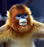 Snub-nosed Monkey. Naughty naughty cute Chinese sichuan Snub - nosed Monkey Stock Images
