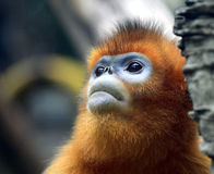 Snub-nosed Monkey. Naughty naughty cute Chinese sichuan Snub - nosed Monkey Stock Photography