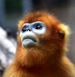 Snub-nosed Monkey Royalty Free Stock Images