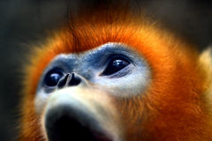 Snub-nosed Monkey. Naughty naughty cute Chinese sichuan Snub - nosed Monkey Royalty Free Stock Images