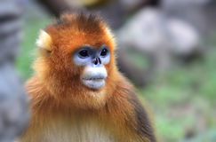 Snub-nosed Monkey Royalty Free Stock Photo