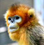 Snub-nosed Monkey. Naughty naughty cute Chinese sichuan Snub - nosed Monkey Stock Image