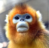 Snub-nosed Monkey. Naughty naughty cute Chinese sichuan Snub - nosed Monkey Stock Photos