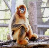 Snub-nosed Monkey Stock Images