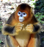 Snub-nosed Monkey Stock Photos