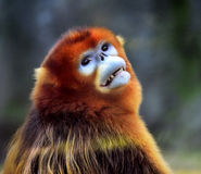Snub-nosed Monkey Stock Image