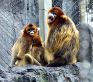 Snub-nosed Monkey. Naughty naughty cute Chinese sichuan Snub - nosed Monkey Royalty Free Stock Photos