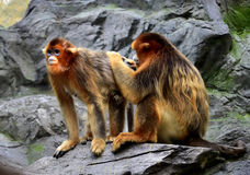 Snub-nosed Monkey. Naughty naughty cute Chinese sichuan Snub - nosed Monkey Royalty Free Stock Photo