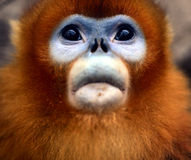 Snub-nosed Monkey Stock Photography