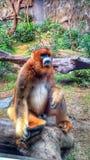 Snub. Nosed monkey. Ocean park Hongkong Stock Image