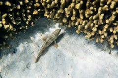 Snubnose Grouper Royalty Free Stock Image