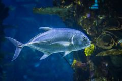 Snubnose Pompano - Trachinotus Blochii are in the tropical waters of the ocean. The water is clear and blue. It is underwater photo africa america animal stock image