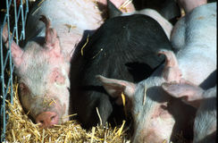 Snug as a bug. Pigs snuggled together, in the sun stock photo