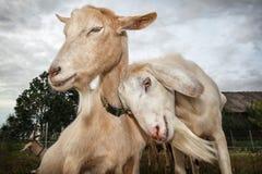 Snuggle 2 вверх по козам стоковое фото rf