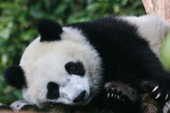 Snuggle gigante da panda imagens de stock royalty free