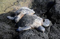 Snuggles da tartaruga imagens de stock