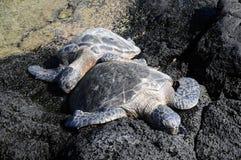 Snuggles della tartaruga Immagini Stock
