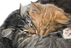 Snuggling kittens Stock Photography