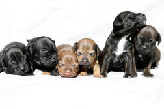 Snuggling puppies Royalty Free Stock Photos