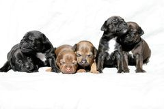 Snuggling puppies Royalty Free Stock Image